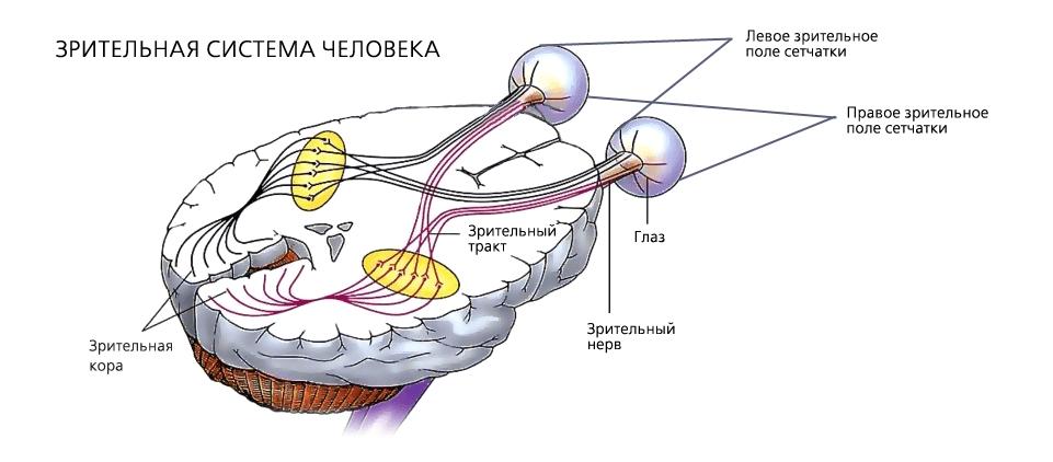 Зрительный нерв