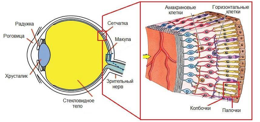 Строение и функции сетчатки глаза